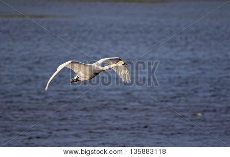 Whooper Swan Take Off