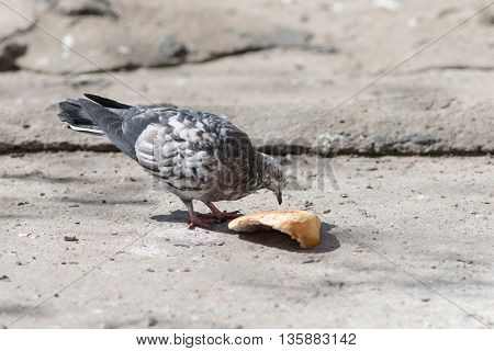 Dove eating a piece of bread on the stone