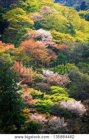 Arashiyama, Colorful Spring Trees On Mountain