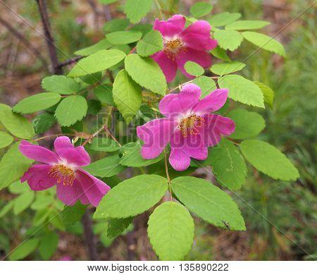 The flowers of Rosa acicularis in Yakutia