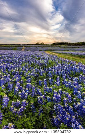 Beautiful Bluebonnets field at sunset near Austin Texas