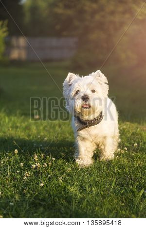Running West Highland White terrier on a green lawn sunny day