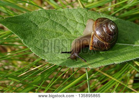 Snail on the green leaf close up