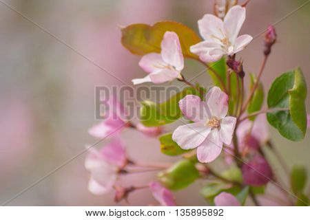 Pink Flowers Of The Apple Tree