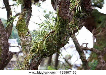 Kangaroo Fern on moss Covered on the tree