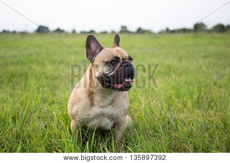 French bulldog on the lawn. bulldog in nature