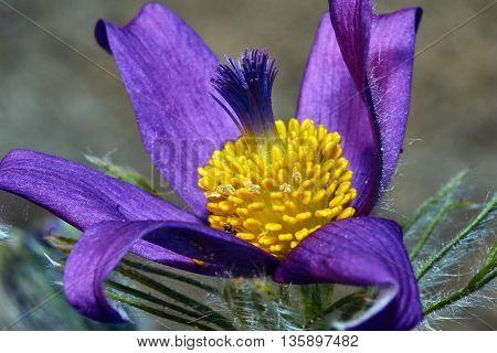 Pasque Flower in spring in the garden