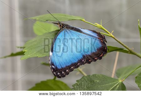 Blue morpho Butterfly on a plant, close up