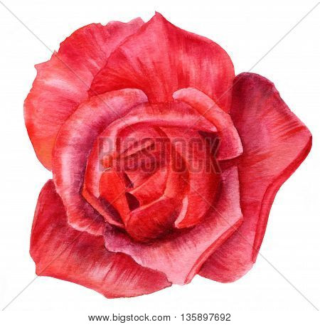 A watercolor drawing of a red rose hand painted on white background
