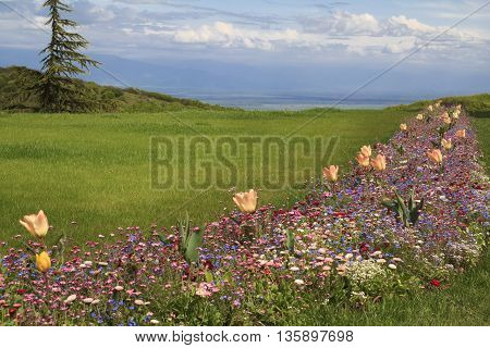Green meadow on a hill with wild flowers orange tulips fir-tree and cloudy sky on the background