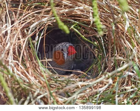 Zebra finch (Taeniopygia guttata) looking out its nest in its habitat