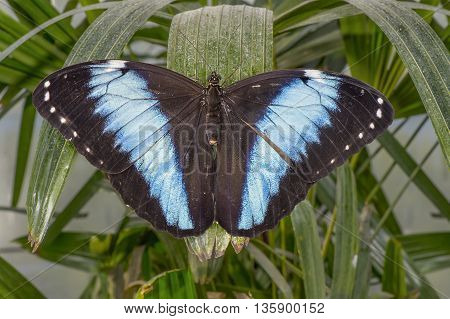Blue-banded morpho Butterfly on a leaf, close up