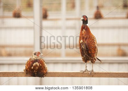 Pheasants on a poultry farm. Two pheasants sitting on a crossbeam.