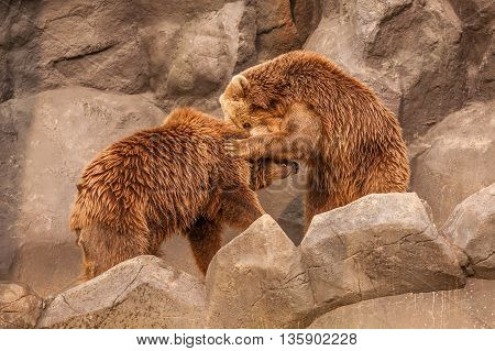 Two brown bears fight in Seoul zoo