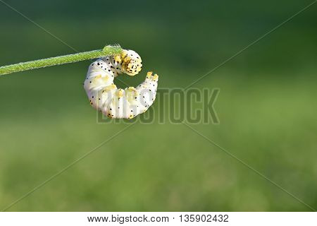 The caterpillar is holding a blade of grass and the sun shines on it. Cucullia verbasci