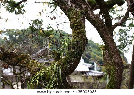 Kangaroo Fern with moss Covered on the tree