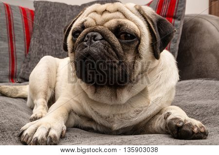 A pug dog laying on a grey sofa