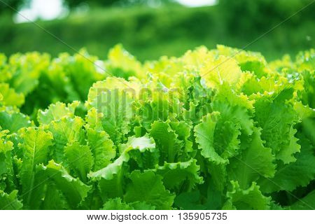 farming agriculture lettuce growing in the garden