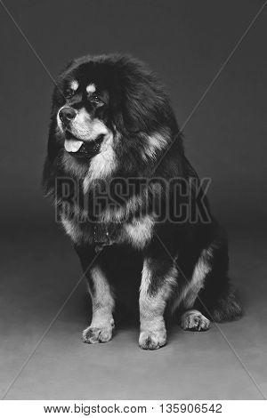 Closeup portrait of big beautiful Tibetan mastiff dog sitting over grey background. Copy space. Monochrome.