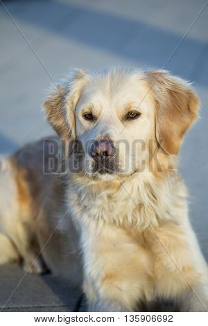Cute Golden Retriever looking on the ground