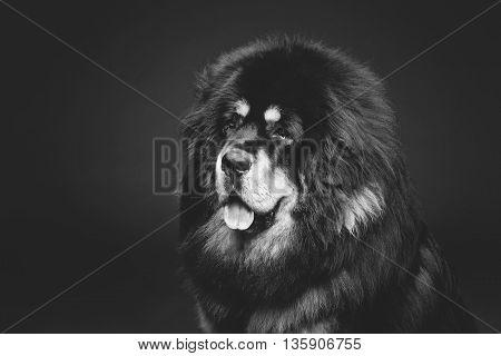 Closeup portrait of big beautiful Tibetan mastiff dog over black background. Copy space. Monochrome.
