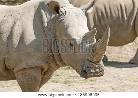 Closeup view of the head of the rhinoceros. Another rhino is in the background.