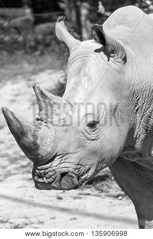 Monochrome closeup view of the head of the rhinoceros. Vertically.