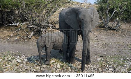 elephant cow, baby elephant hiding from the tourists in the African savannah, Botswana