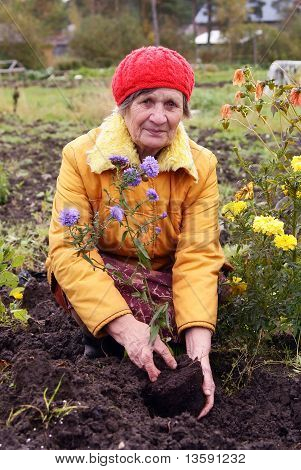 The woman cultivates autumn flowers