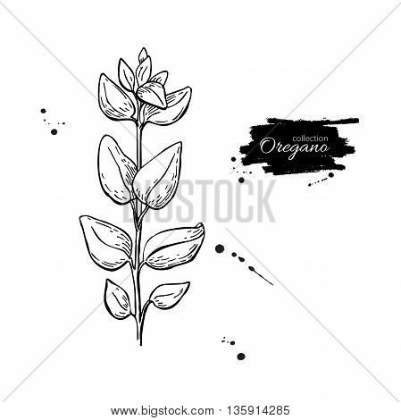 Oregano vector drawing. Isolated Oregano plant with leaves. Herbal engraved style illustration. Detailed organic product sketch. Cooking spicy ingredient