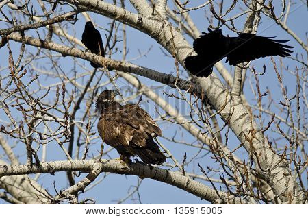 Young Bald Eagle Being Harassed by American Crows