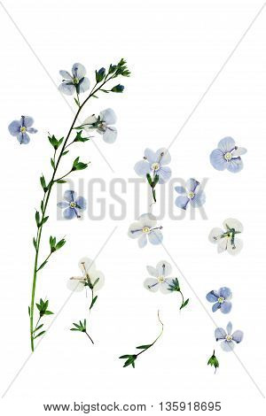 Pressed and dried flowers Veronica officinalis. Isolated on white background. For use in scrapbooking pressed floristry (oshibana) or herbarium.