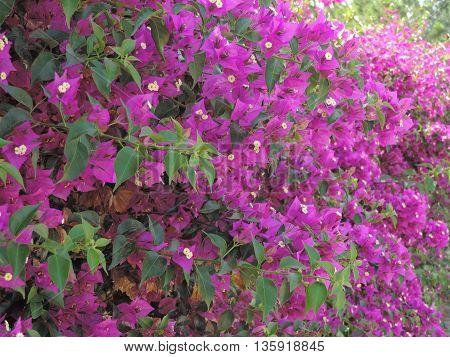 Azalee viola rampicanti - Purple azalea climbing