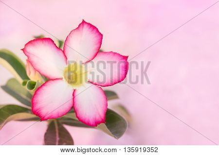 Desert Rose Or Impala Lily