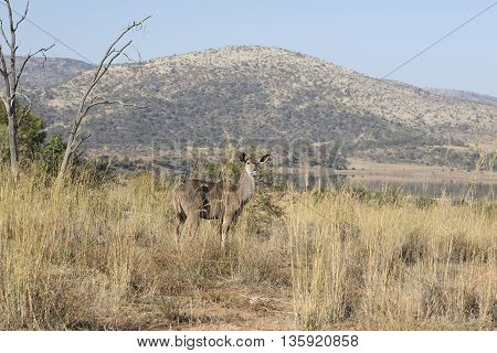 Kudu In Pilansberg Veld In South ASfrica