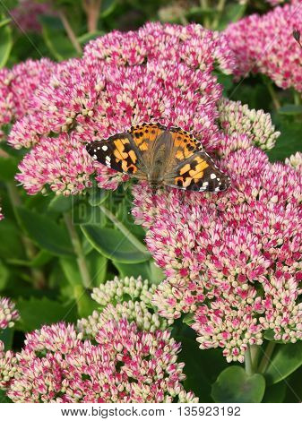 Painted lady butterfly resting on the pink flowers of a Sedum plant