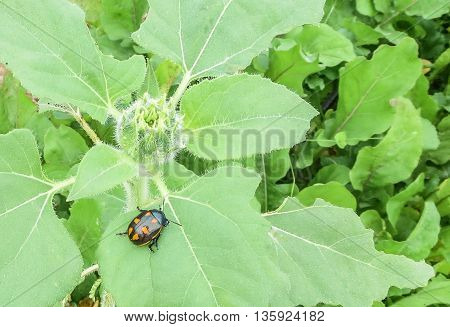 Black ladybug with orange spots sitting on green leaf with transparent flower in garden.