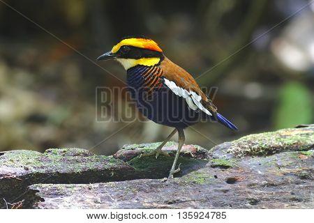 Banded Pitta Pitta guajana Male Birds of Thailand