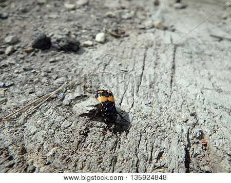 burying beetle , carrion beetle , scarab,
