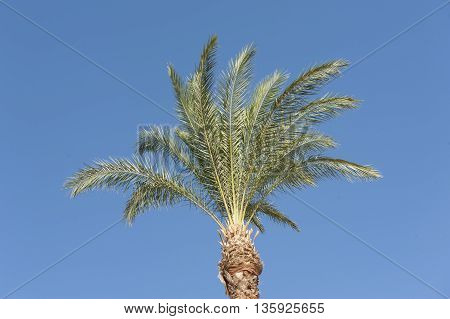 Top Of A Date Palm Tree Against Blue Sky