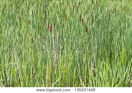 Tall grass and reeds green nature background