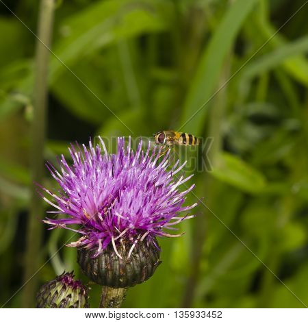 Hoverfly landing on thistle flower with motion-blurred wings macro on bokeh background selective focus shallow DOF