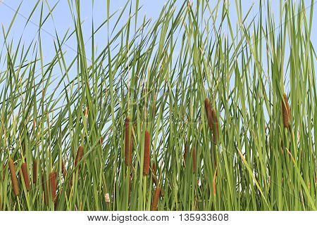Close up of cattails and reeds near a pond with blue sky in the background