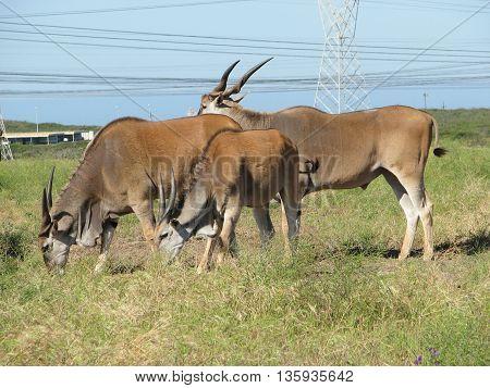 Eland Antelope, Koeburg Nature Reserve, Cape Town South Africa 11