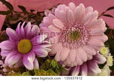 flower,  close up of two pink gerbera