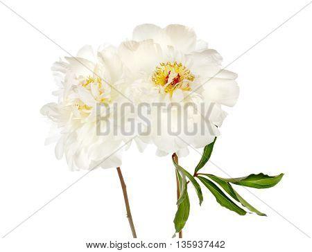 Two Peony Flowers