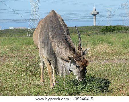 Eland Bull, Koeburg Nature Reserve, Cape Town South Africa