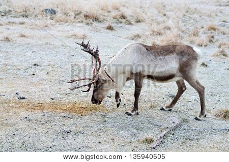 A single reindeer searching for moss to eat. Shedding skin from antlers.