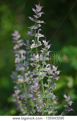 medicinal plants sage on the green background
