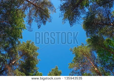 Natural frame of pine trees against blue sky